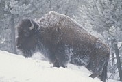 Bison Art - Portrait Of An American Bison by Michael Melford