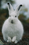 Portrait Of An Arctic Hare Print by Norbert Rosing