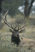 Bulls Metal Prints - Portrait Of An Elk Or Wapiti Metal Print by Norbert Rosing