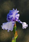 Portrait Of An Iris Print by Steve Augustin