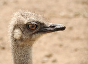 Ostrich Photo Framed Prints - Portrait of an  ostrich Framed Print by Laura Melis