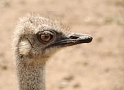 Portrait Of An  Ostrich Print by Laura Melis