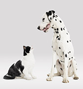 Two Dalmatian Framed Prints - Portrait Of Cat And Dog Framed Print by Paul Bradbury