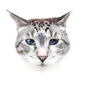 Domestic Animals Art - Portrait Of Cat by by Jonathan Fife