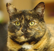Golden Eye Cat Photos - Portrait of Ginny by Marilyn Wilson