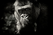 Serious Prints - Portrait Of Gorilla Print by MarkBridger
