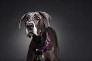Great Dane Portrait Framed Prints - Portrait Of Great Dane Framed Print by Radius Images