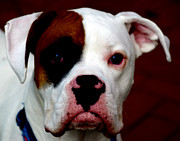 Boxer Art - Portrait of her best friend  by Steven  Digman