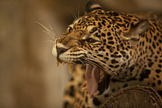 Zoo Photo Originals - Portrait of Leopard  by Anek Suwannaphoom