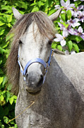 Gray Horses Photos - Portrait of Lulu by Angela Doelling AD DESIGN Photo and PhotoArt