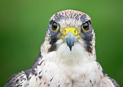 Peregrine Falcon Prints - Portrait Of Peregrine Falcon Print by Michal Baran