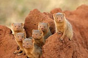 Portrait Of Seven Dwarf Mongooses Print by Roy Toft