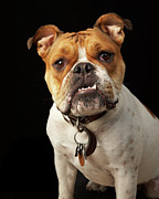 Pet Collar Posters - Portrait Of Tan And White Bulldog With Collar Poster by M Photo