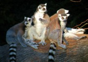 Lemur Photos - Portrait of the Lemurs by Christine Belt