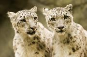 Animal Portraits Art - Portrait Of Two Captive Snow Leopards by Tim Laman
