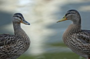 Duck Couple Posters - Portrait of two ducks on a riverbank Poster by Sami Sarkis