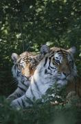 The Tiger Metal Prints - Portrait Of Two Juvenile Siberian Metal Print by Dr. Maurice G. Hornocker