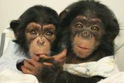 Sterling Art - Portrait Of Two Young Laboratory Chimps by Steve Winter