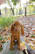 Vizsla Art - Portrait Of Viszla Puppy In Park by Beanstock Images