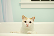Domestic Bathroom Posters - Portrait Of White Cat Poster by Melissa Ross