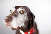 German Pointer Prints - Portraits Of A German Shorthair Pointer Print by Joel Addams