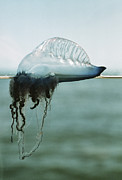 Colonial Man Framed Prints - Portuguese Man-of-war Framed Print by Peter Scoones