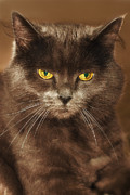 Blue Cat Posters - Posing in Sepia Poster by Joann Vitali