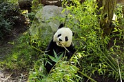 Posing Panda Print by John  Greaves