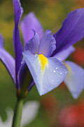 Rain Drop Posters - Posing Purple Dutch Iris Flower Poster by Jennie Marie Schell