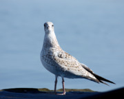 Preditor Photos - Posing Seagull by Denise Jenks