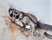 Sandra Phryce-Jones - Possum cute Sugar Glider