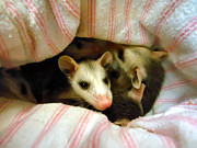 Possum Photos - Possums by Michelle Milano