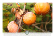 Persimmons Prints - Poster - Persimmons Print by Oenita Blair