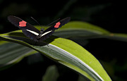 Red Leaf Prints - Postman Heliconius melpomene Print by Robin Webster