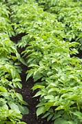 Vegetable Garden Posters - Potato Plants In A Vegetable Patch Poster by Jon Stokes
