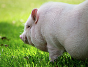 Potbelly Pig Print by Christopher Jenkins  c/o www.luckyshotphotos.com