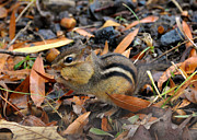 Chipmunk Photos - Pouch Stuffing Chipmunk - c2981d by Paul Lyndon Phillips