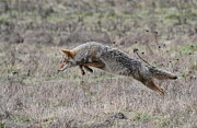 Refuge Prints - Pouncing Coyote Print by Angie Vogel