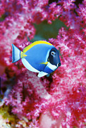 Blue Tang Fish Prints - Powder Blue Surgeonfish Print by Georgette Douwma