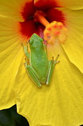 Amphibian Greeting Card Posters - Powdered Frog  Poster by Kathy Gibbons