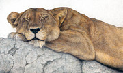 Lioness Drawings Posters - Power and Grace at Rest Poster by Pat Erickson