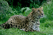 Julie L Hoddinott - Powerful Amur Leopard