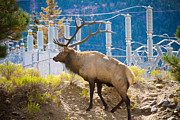 Elk Photographs Photo Prints - Powerful Bull Elk Print by James Bo Insogna