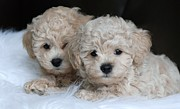 Maltese Dog Posters - Practically Twins Poster by Lisa  DiFruscio