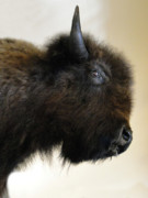 Bar Photos - Prairie Bison by Al Bourassa