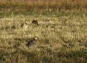 Matting Metal Prints - Prairie Chickens after the Boom Metal Print by Thomas Young