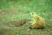 Prairie Dog Photos - Prairie Dog and Den by John Burk