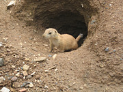 Prairie Digital Art Posters - Prairie Dog Poster by Bill Cannon
