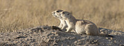 Prairie Dog Photos - Prairie Dog Cynomys Sp Pair, Grasslands by Matthias Breiter