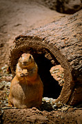 Green Bay Prints - Prairie Dog Dining Al Fresco Print by Shutter Happens Photography